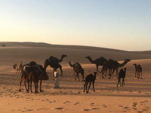 Oman Zwarte Kamelen Wadi Malhit Empty Quarter